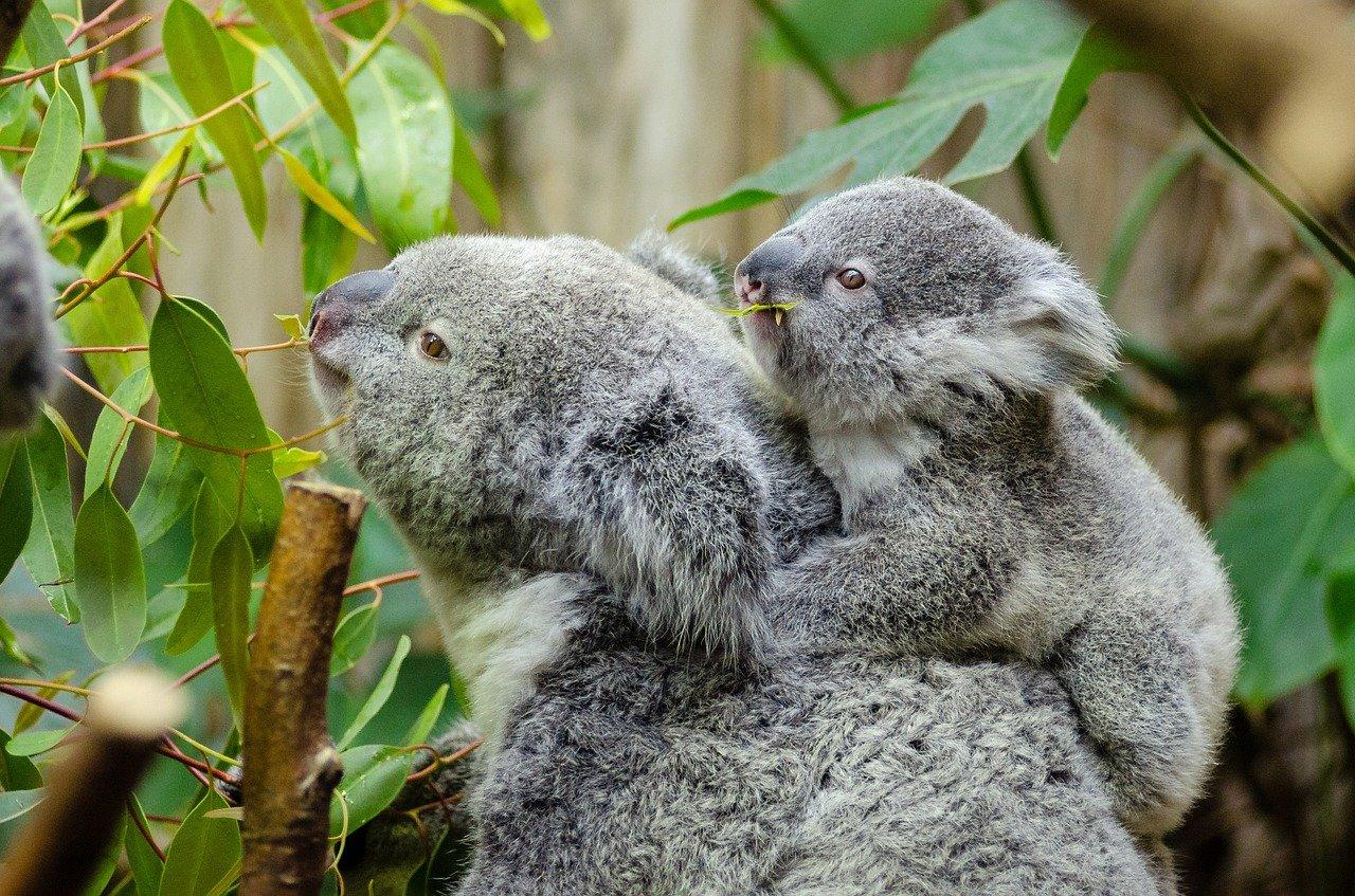 female-koala-and-her-baby-1332217_1280